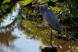 Great blue heron in strong backlight