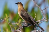 Common grackle - female