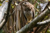 Red-shouldered hawk in the forest
