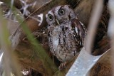 Eastern screech owl with 'the eyes'