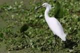 Snowy egret on shore
