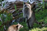 Mom raccoon on alert
