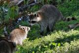 Mom raccoon protecting baby
