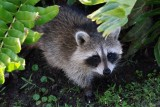 Curious baby raccoon
