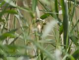 Streckad vävare - Streaked Weaver (Ploceus manyar)