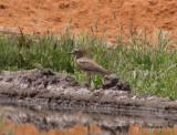 Senegaltjockfot - Senegal Thick-knee (Burhinus senegalensis)