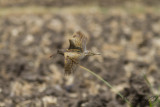 Rallbeckasin - Greater Painted Snipe (Rostratula benghalensis)