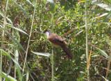 Senegalsporrgök - Senegal Coucal (Centropus senegalensis)