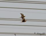 Brunbukig flyghöna - Chestnut-bellied Sandgrouse (Pterocles exustus)