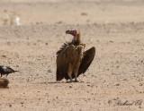 Örongam - Lappet-faced Vulture (Torgos tracheliotus)