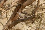Afrikansk turkduva - African Collared Dove (Streptopelia roseogrisea)