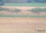 Prärietrana - Sandhill Crane (Grus canadensis)