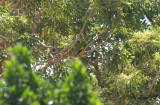Sommargylling - Eurasian Golden Oriole (Oriolus oriolus)