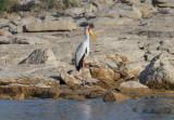 Afrikansk ibisstork - Yellow-billed Stork (Mycteria ibis)