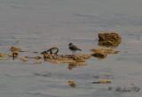 Trebandad pipare - Three-banded Plover (Charadrius tricollaris)
