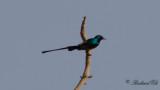 Nilsolfågel - Nile Valley Sunbird (Hedydipna metallica)