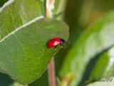 Aspglansbagge (Chrysomela populi)