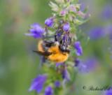 Åkerhumla - Common carder bumblebee (Bombus pascuorum)
