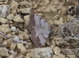 Hedmätare - Bordered Grey (Selidosema brunnearia)