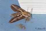 Brunsprötad skymningssvärmare - Bedstraw Hawk-Moth (Hyles gallii)