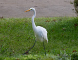 Amerikansk ägretthäger - American Great Egret (Egretta alba egretta)