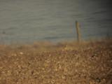 Dvärgspov - Little Curlew (Numenius minutus)