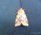 Violettbandat gulvingfly - Pink-barred Sallow (Xanthia togata)