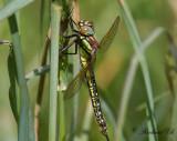 Tidig mosaikslända - Hairy Dragonfly (Brachytron pratense)