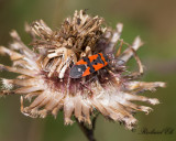 Riddarskinnbagge - Black-and-Red-bug (Lygaeus equestris)