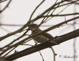 Balkanflugsnappare - Semicollared Flycatcher (Ficedula semitorquata)