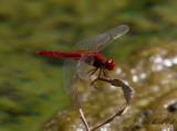Karmintrollslända - Broad Scarlet (Crocothemis erythraea)