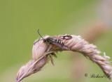 Vickerglasvinge - Six-belted Clearwing (Bembecia ichneumoniformis)