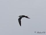 Sottärna - Sooty Tern (Onychoprion fuscatus)