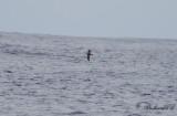 Swinhoes stormsvala - Swinhoe's storm petrel (Oceanodroma monorhis)