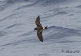 Monteiro's Storm-petrel (Oceanodroma monteiroi)
