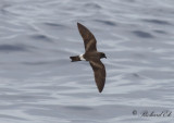 Birds in Azores - non passerines