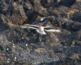 Bandvingad snäppa - Western Western Willet (Catoptrophorus semipalmatus)