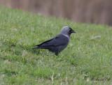 Kaja - Eurasian Jackdaw (Corvus monedula)