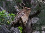 Brun fiskuv - Brown Fish Owl (Ketupa zeylonensis)