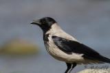 Grå kråka - Hooded Crow (Corvus corone cornix)