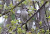 Stjärtmes - Long-tailed Tit (Aegithalos caudatus alpinus)