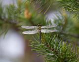 Mindre glanstrollslända - Northern Emerald (Somatochlora arctica)