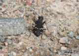 Skogssandjägare - Heath Tiger Beetle (Cicindela sylvatica)