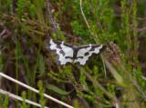 Liten fläckmätare - Clouded border (Lomaspilis marginata)