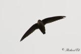 Skorstenseglare - Chimney Swift (Chaetura pelagica)