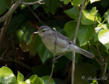 Stensångare - Sulphur-bellied warbler (Phylloscopus griseolus)