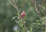 Långstjärtad rosenfink - Long-tailed Rosefinch (Uragus sibiricus)