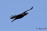 Korp - Raven (Corvus corax)