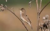 Stäppsångare - Booted Warbler (Iduna caligata)