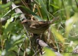 Träsksångare - Lanceolated Warbler (Locustella lanceolata)